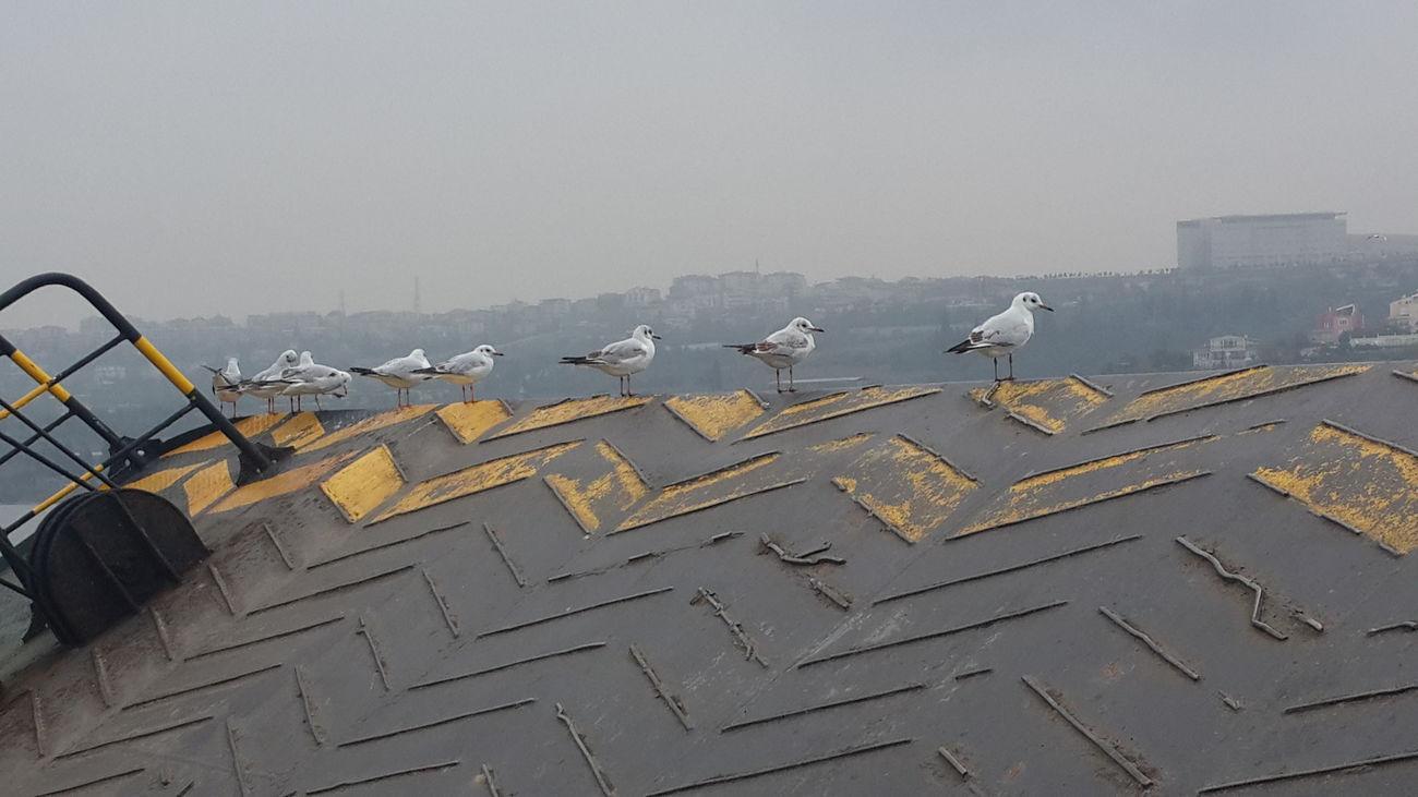 Captain martılar Feribot Gözetliyor