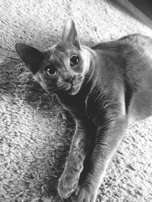 Cat One Animal Cats Meow Kitten Domestic Animals Wildlife Blackandwhite Black And White Pur Feline Looking At Camera Close-up High Angle View Portrait