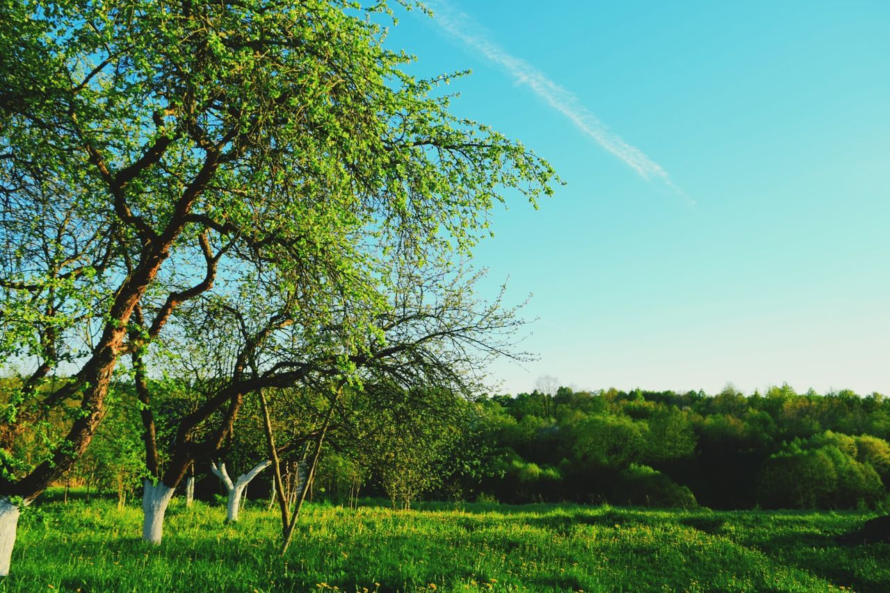 tree, no people, nature, green color, outdoors, day, growth, beauty in nature, scenics, sky, branch, grass