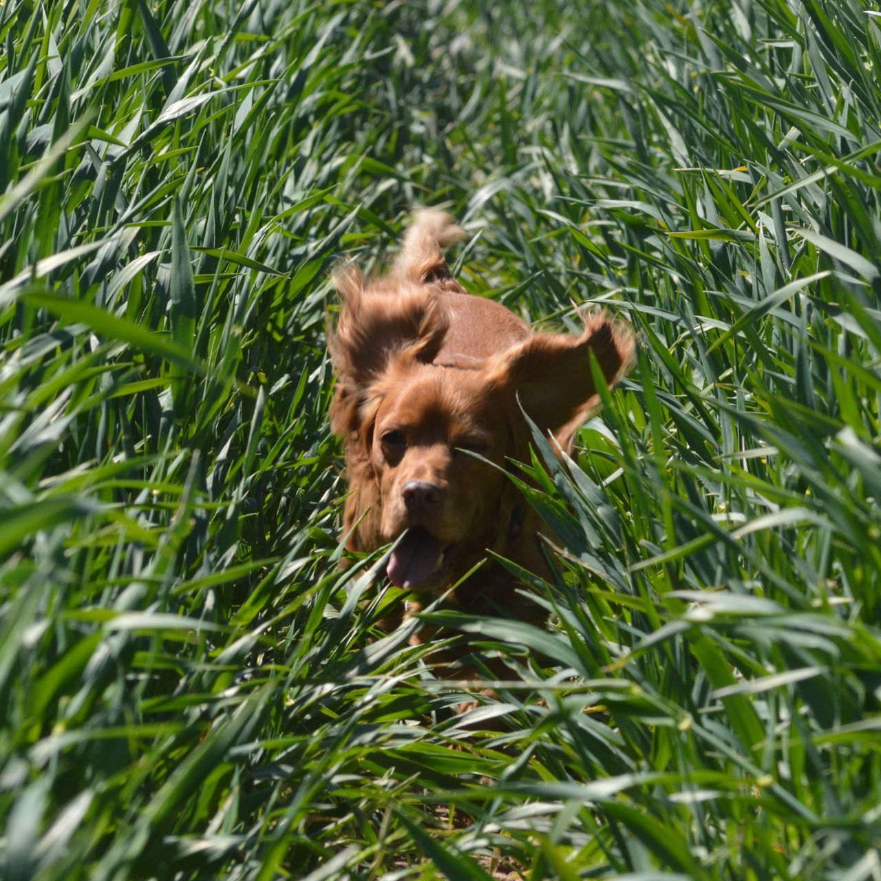 grass, one animal, animal themes, dog, mammal, pets, domestic animals, no people, day, green color, nature, outdoors, close-up