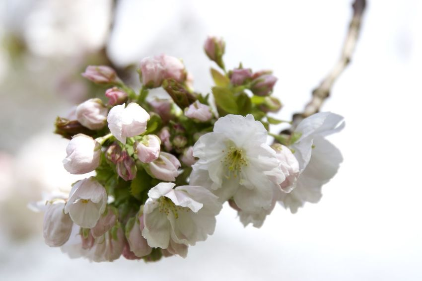 Beauty In Nature Blossom Branch Check This Out Close-up Day Flower Flower Head Flowers Fragility Freshness Growth Nature No People Outdoors Taking Photos White Color