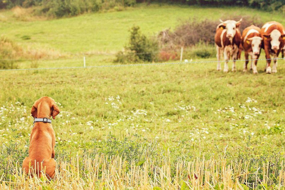 Beautiful stock photos of cow, Animal Themes, Austria, Brown, Cow