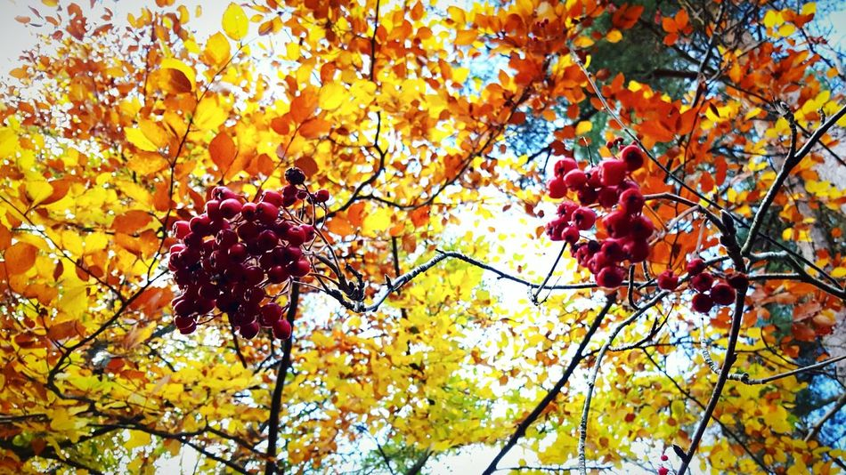 This Is Autumn day 26. Colour Of Life Colour Colourful Colours Of Nature Tree Leaf Fruit Autumn Outdoors Beauty In Nature Nature Change