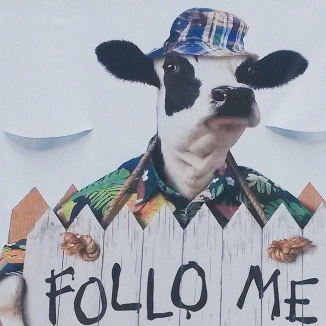 Vaca Cachonda Follo
