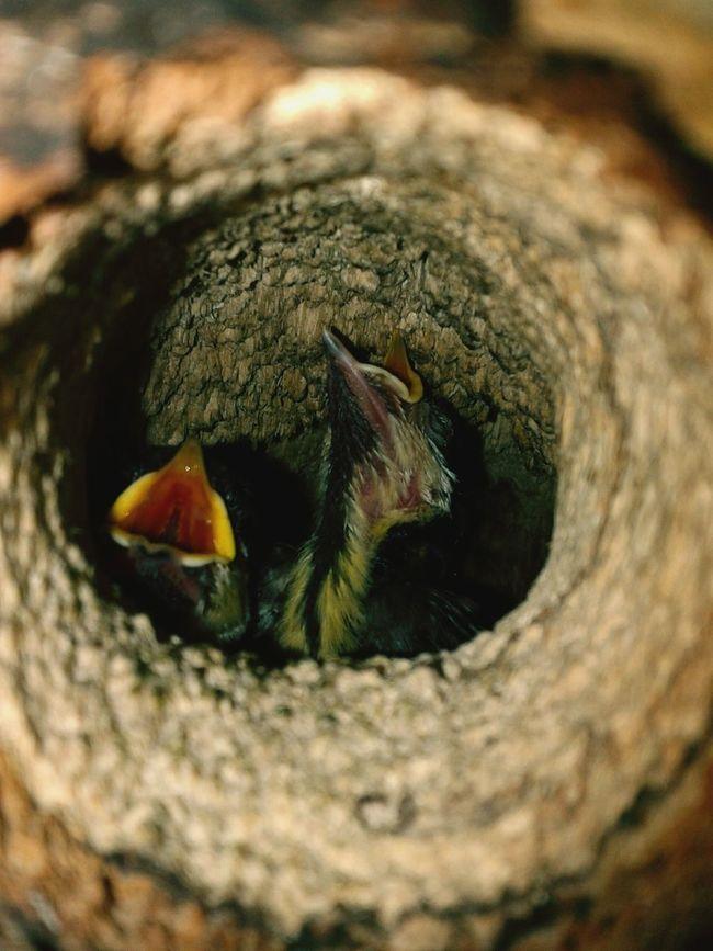 Two Is Better Than One Birg Nestling Nestlings Nest
