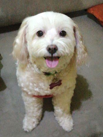 Dog Close-up Half Poodle Half Shihtzu Poodle Shihtzu Mans Best Friend Pet Portraits