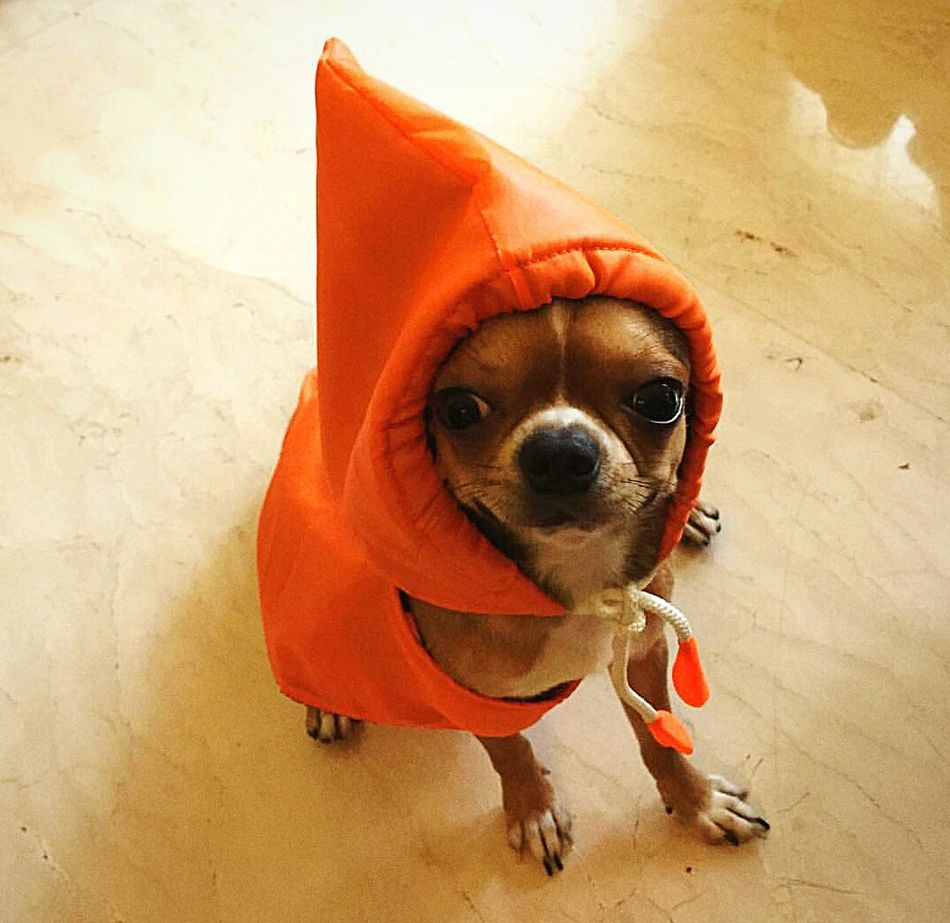 Beautiful stock photos of chihuahua, Animal Head, Animal Themes, Close-Up, Dog