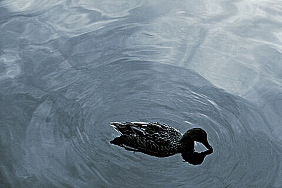 Animal Themes Beauty In Nature Wildlife Rippled Water Duck Swimming Light Reflections Water Bird Tranquility Nature Photography Shadows And Light Water Flow Floating On Water Park Birdwatching