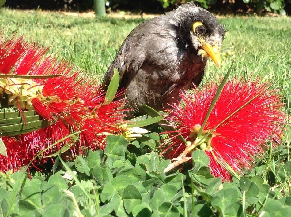 My little baby <3 Australian Native Birds Bird Birdwatching First Eyeem Photo