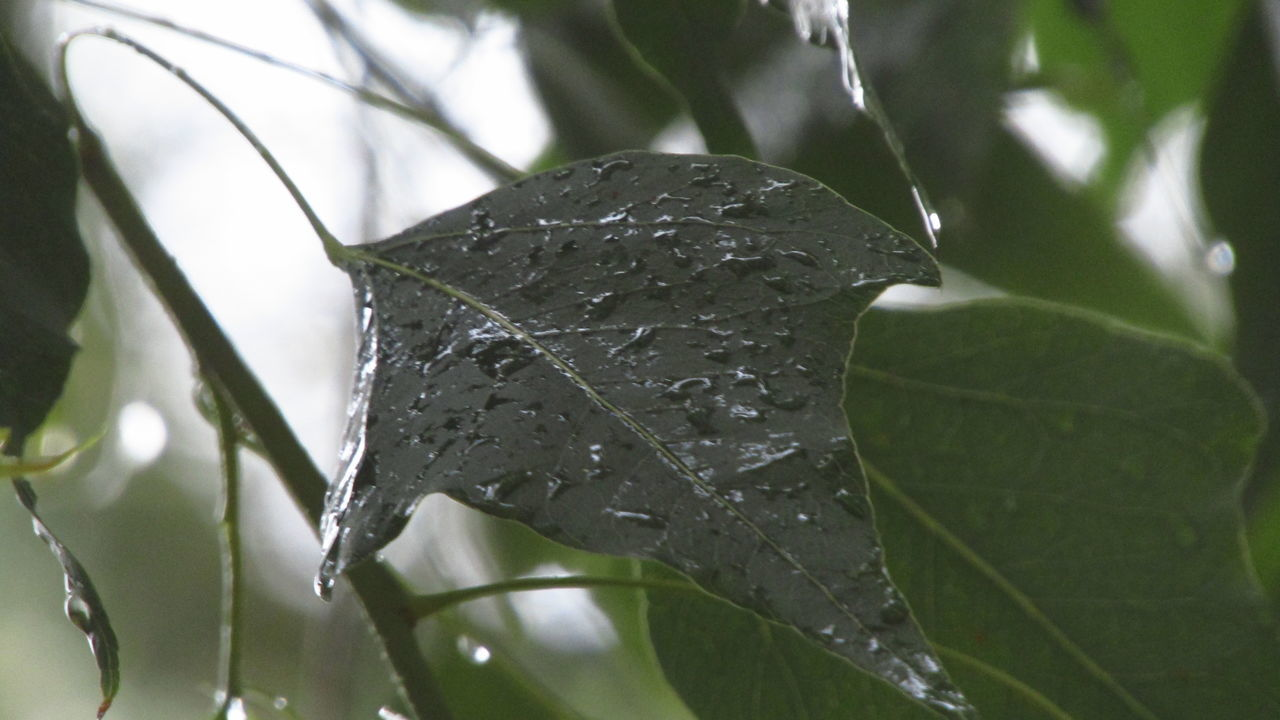 leaf, drop, close-up, wet, water, nature, growth, day, no people, plant, beauty in nature, raindrop, green color, outdoors, fragility, freshness