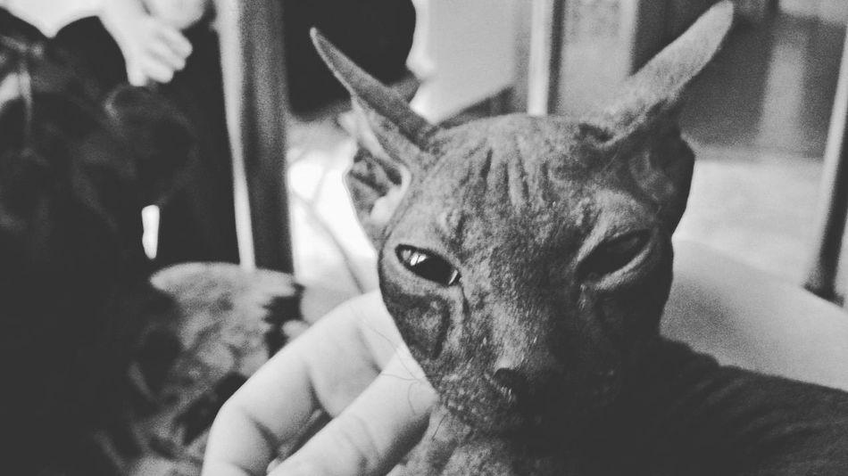 Miew Prettycat Mycat Animals Black&white Sfinks Cat Lovecat  Seriously Inspirations Spb