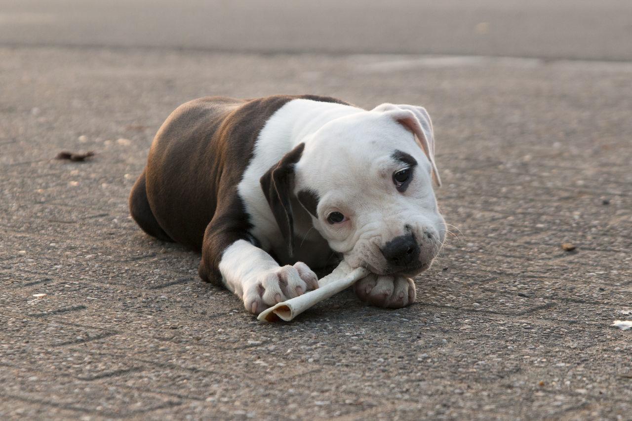 Beautiful stock photos of american bulldog,  Animal Themes,  Biting,  Day,  Dog