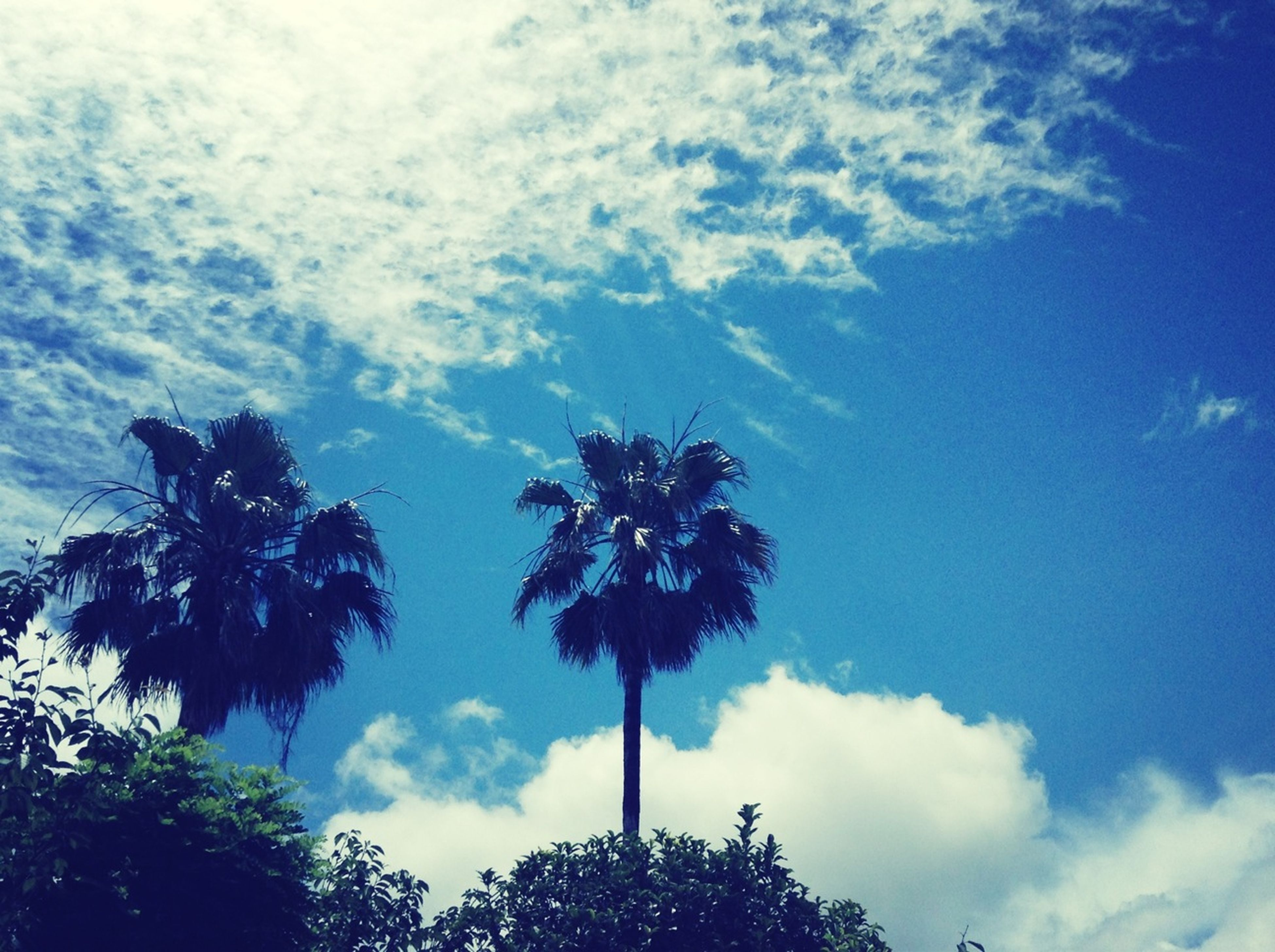 tree, low angle view, sky, palm tree, cloud - sky, growth, tranquility, silhouette, nature, beauty in nature, blue, cloud, scenics, tree trunk, cloudy, branch, tranquil scene, no people, outdoors, day