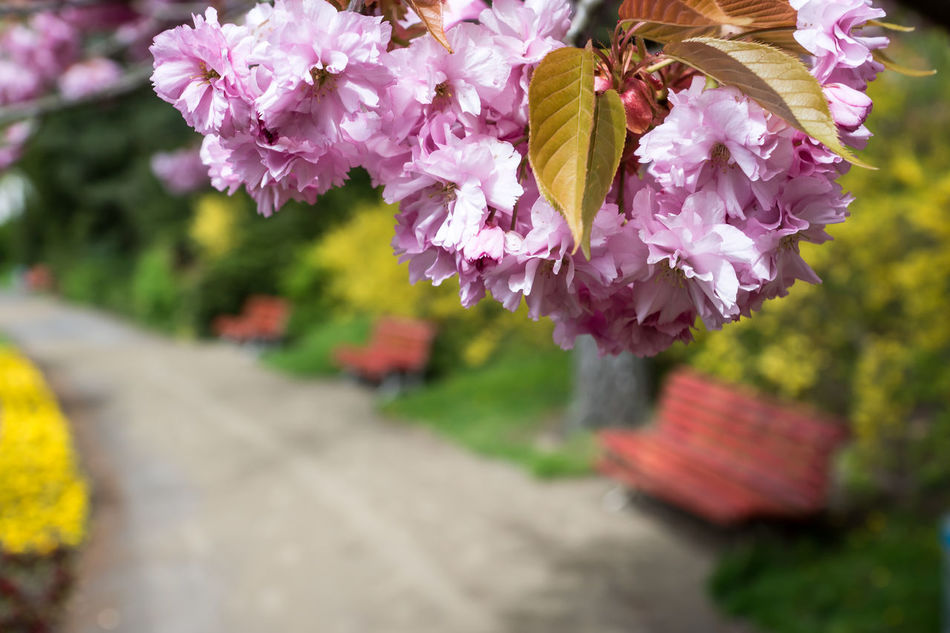 Beauty In Nature Bench Cherry Blossom Cherry Blossoms Close-up Day Flower Flower Head Fragility Freshness Growth Nature No People Outdoors Park Petal Plant Seating Bench Spring Springtime Tree Way
