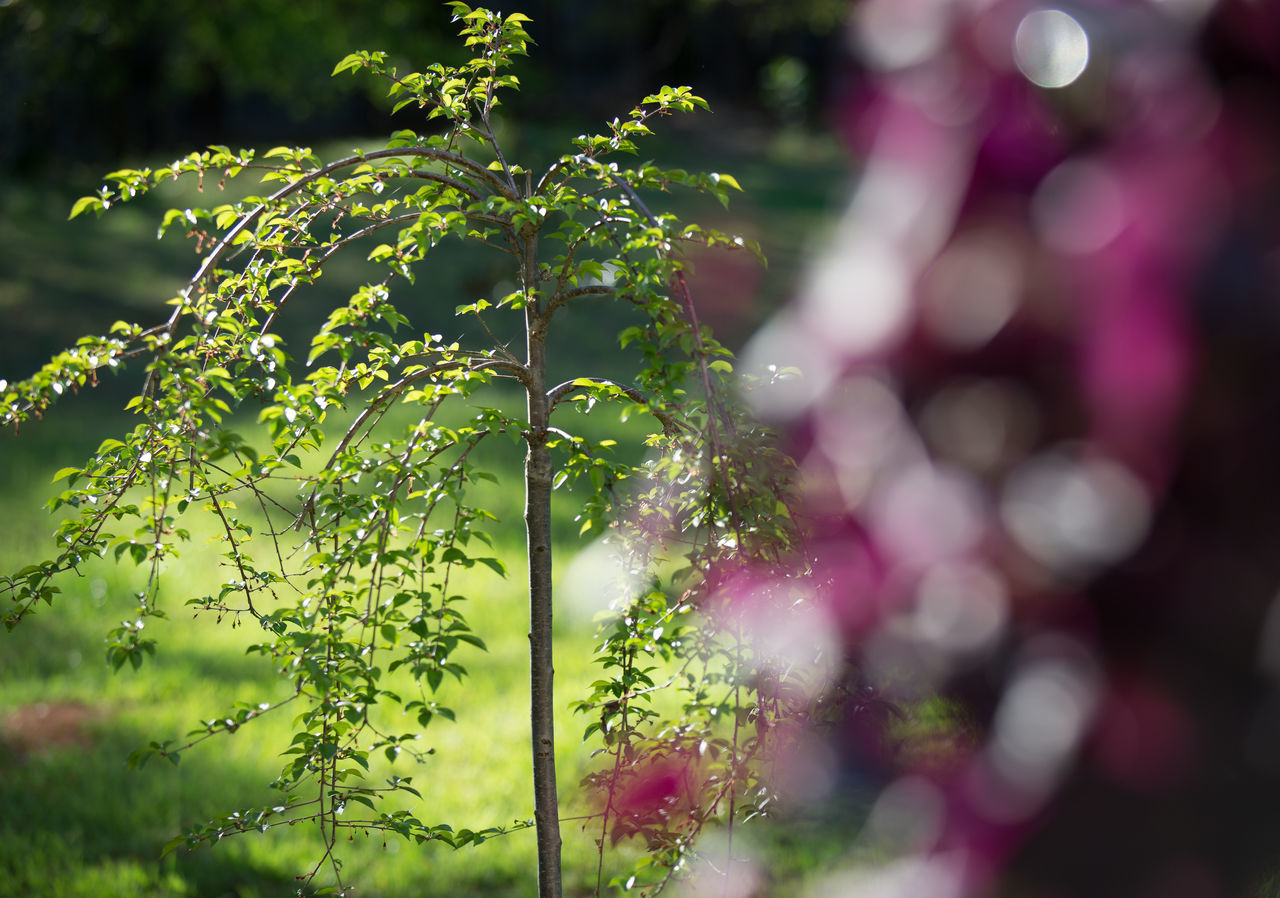 Beauty In Nature Close-up Day Defocused Focus On Background Fragility Green Green Color Growing Growth Illuminated Japanese Cherry Tree. Lens Flare Nature Outdoors Plant Selective Focus Spring Springtime Stem Sunbeam Tranquility Tree Twig