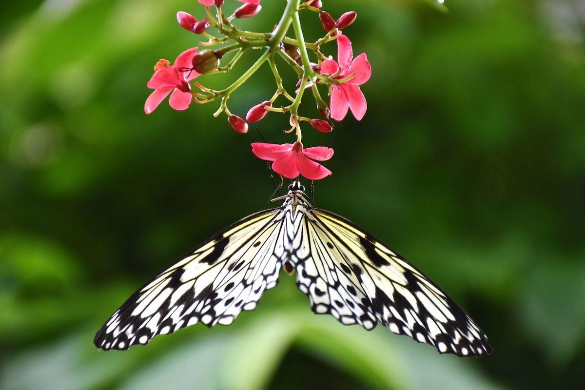 Butterfly Butterfly Pavilion Flowers
