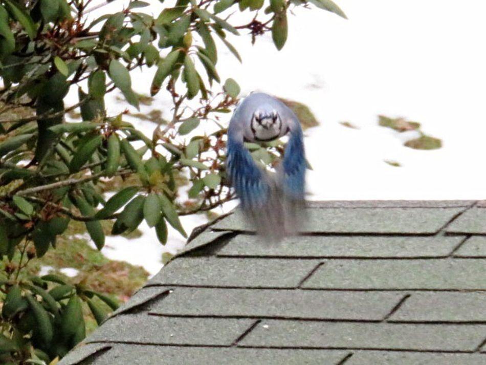 No People Outdoors Day Animal Themes In Flight Bluejays Blue Jay Bird Avian Wild Animal