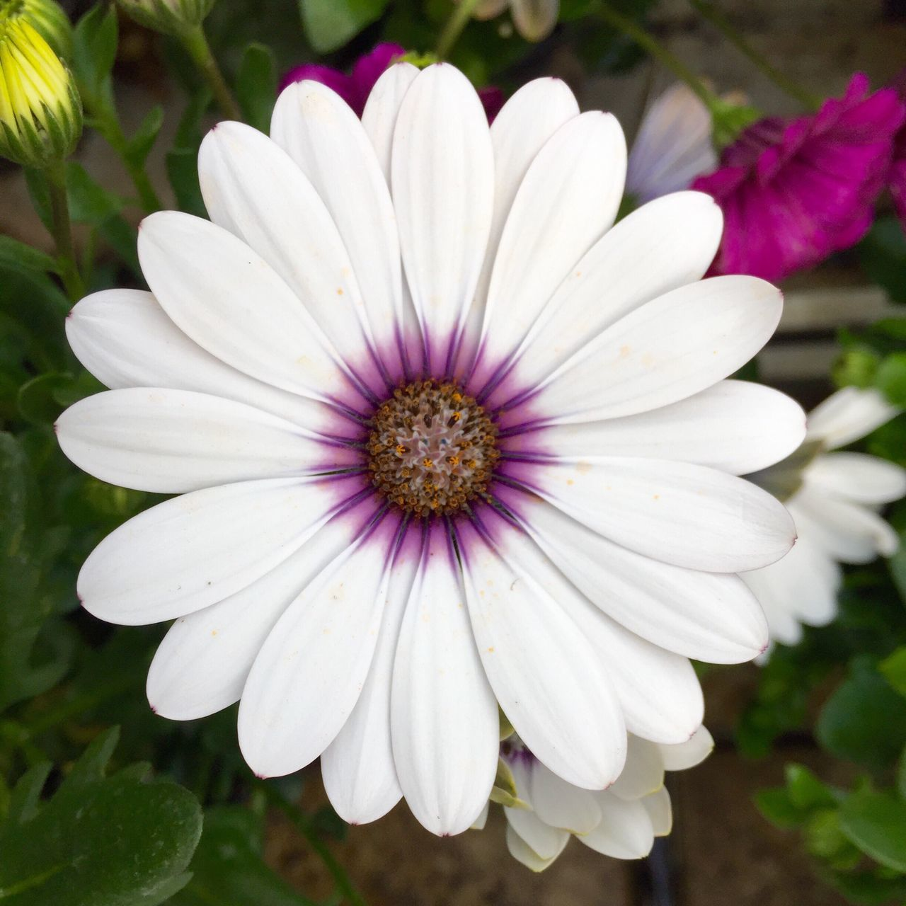 flower, petal, nature, flower head, plant, beauty in nature, growth, fragility, freshness, white color, blooming, osteospermum, outdoors, day, no people, pollen, close-up