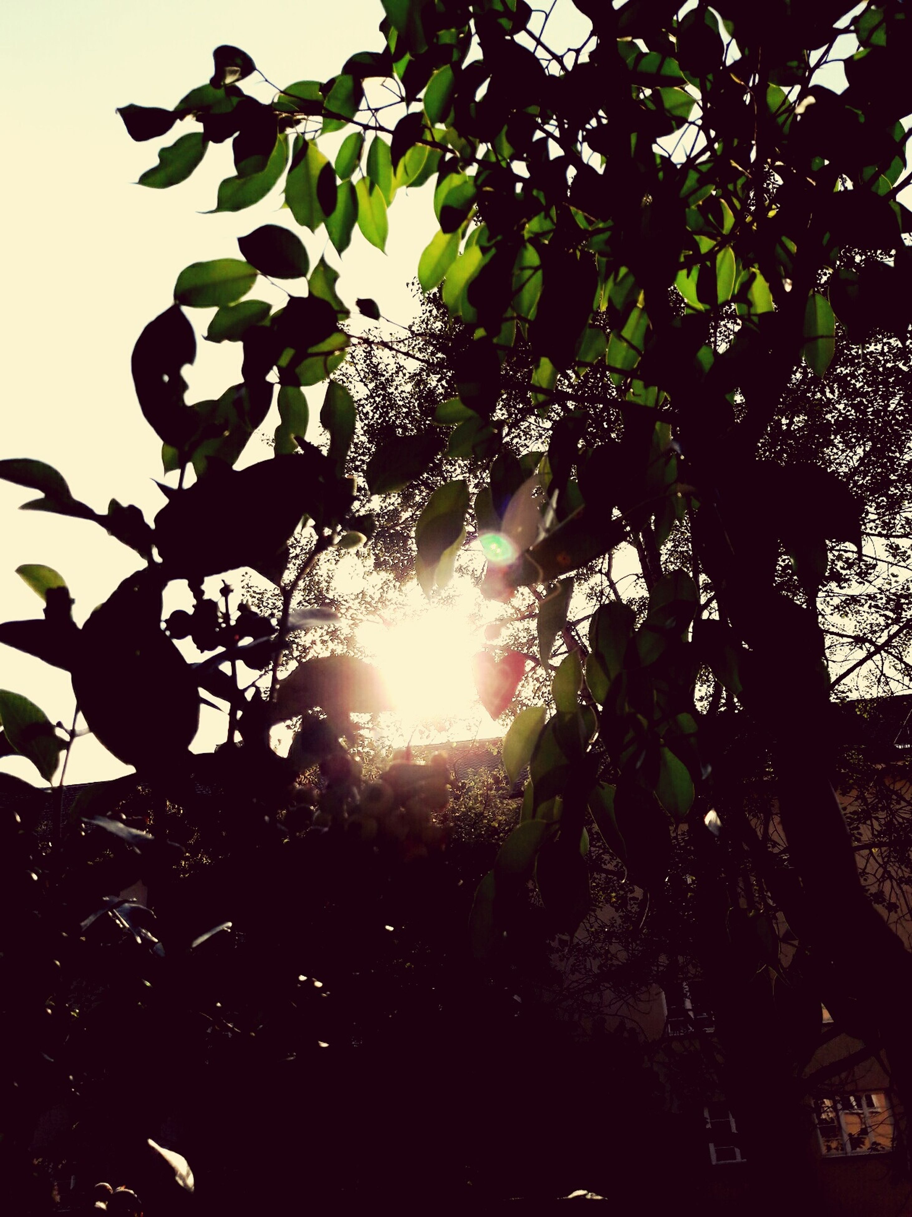 leaf, tree, sunlight, sun, growth, branch, low angle view, silhouette, sunbeam, plant, nature, day, beauty in nature, sky, bright, outdoors, lens flare, scenics, back lit, leaves, outline, tranquility, high section, no people, tranquil scene