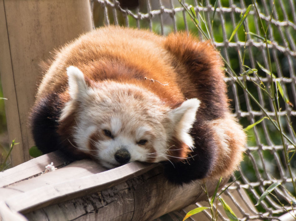 Red Panda Animal Themes Animal Wildlife Animals In The Wild Check This Out Close-up Day Eye For Photography Eye4photography  EyeEm Best Shots EyeEm Best Shots - Nature EyeEm Gallery EyeEm Nature Lover EyeEmBestPics Eyeemphotography Hello World Mammal Nature No People One Animal Outdoors Panda - Animal Red Panda