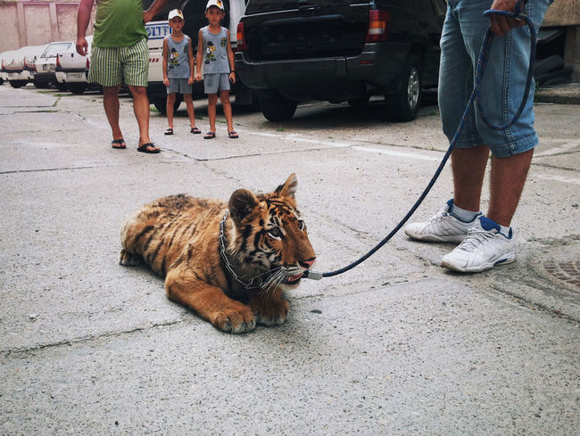 Meet Alex, a 9 months old Tiger cub. His owner, a local mobster (Arad, Romania), bought him from black market as a pet! Police officers seized him while he was having a walk downtown with Alex in chains. The baby cub was taken in custody by Police, while the mobster was detained for details about the provenience of Alex. At that time the baby cub was suffering from malnutrition, he had an eye infection, chain and beating wounds! Later, Alex was adopted by a zoo in Targu-Mures, Romania and is well treated now! Taking Photos EyeEm Best Shots Eye4photography  Vscocam Untold Stories Streetphotography Enjoying Life Traveling Relaxing Made In Romania