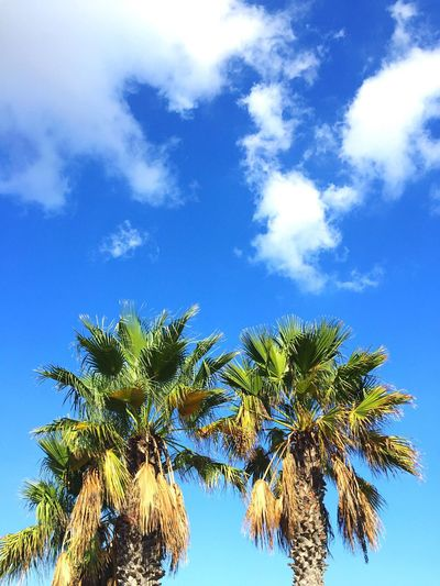 pretty bay, malta October 2016 Sky Growth Nature Palm Tree Blue Tree No People Beauty In Nature Outdoors Day Tranquility Cloud - Sky Scenics Green Color Treetop Palm Frond First Eyeem Photo