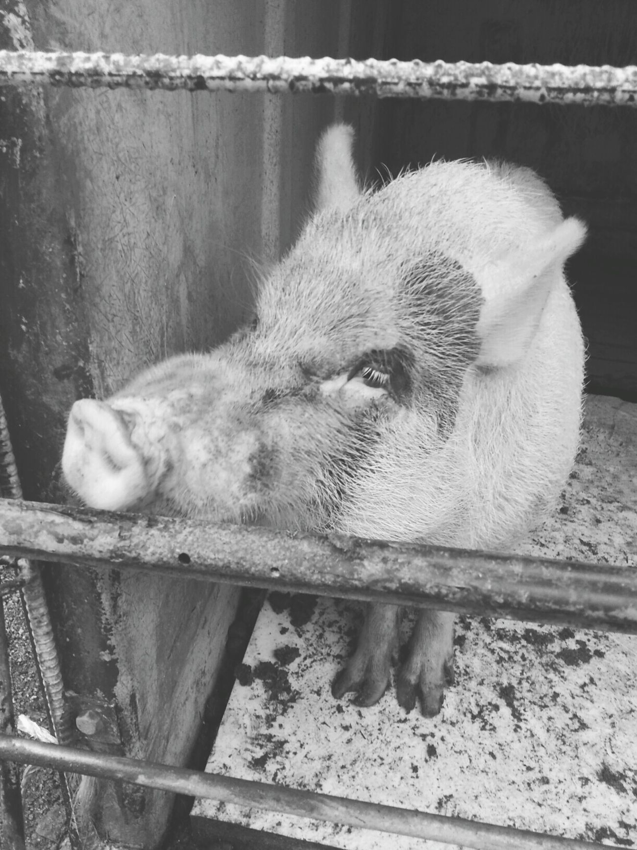 Pig Cute♡ Animal A lot of amiability♪ 六甲山牧場