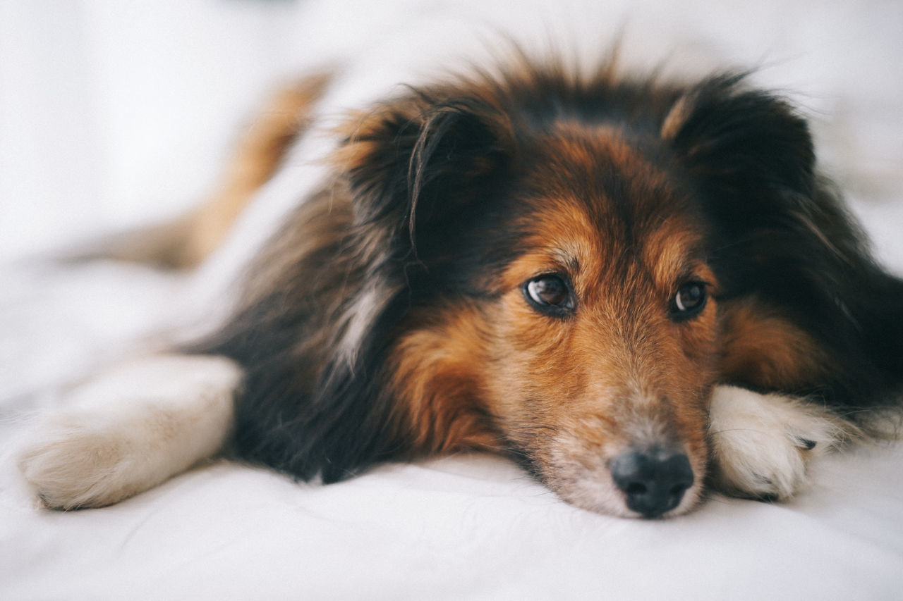 Animal Themes Close-up Day Dog Domestic Animals Indoors  Lying Down Mammal No People One Animal Pets Portrait Relaxation Sheepdog Sheltie