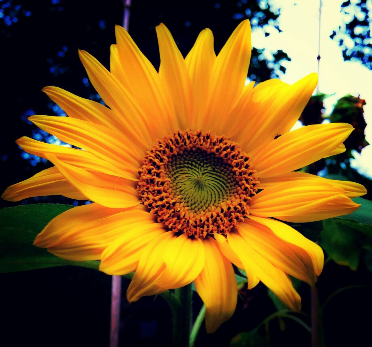 flower, yellow, petal, beauty in nature, fragility, flower head, nature, growth, freshness, plant, no people, vibrant color, outdoors, close-up, blooming, gazania, day, sunflower