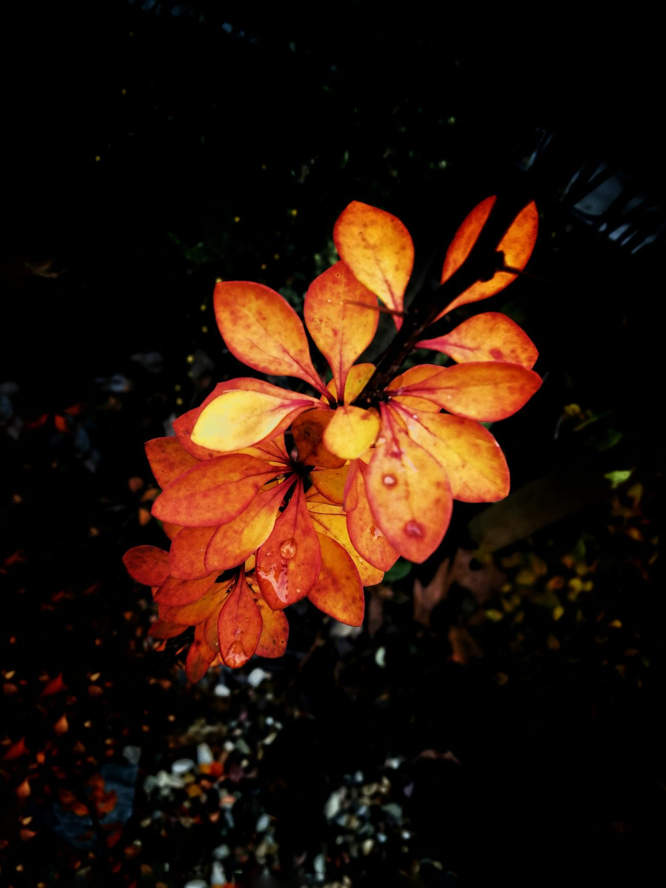 Flower Nature Beauty In Nature Orange Color Leaf Close-up Growth No People Autumn Freshness Outdoors Black Background Flower Head Fragility Day