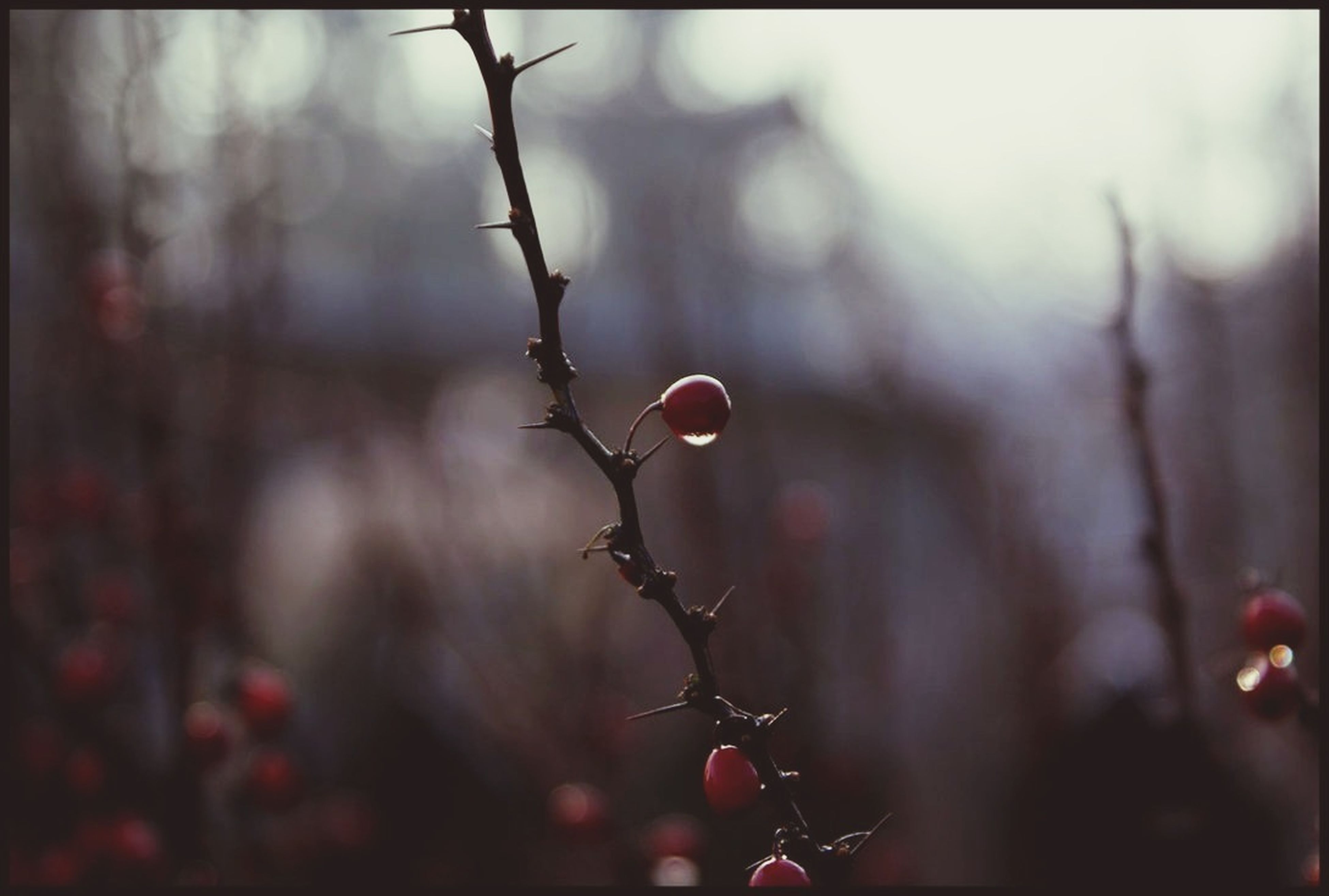 focus on foreground, branch, tree, close-up, growth, twig, selective focus, red, nature, fruit, freshness, auto post production filter, transfer print, hanging, plant, outdoors, stem, beauty in nature, leaf, day