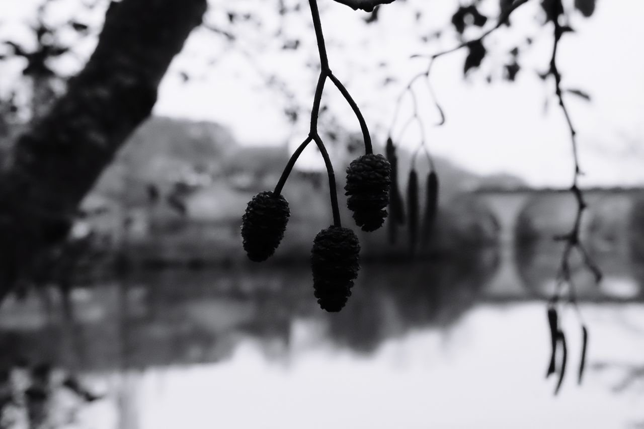 tree, fruit, nature, hanging, focus on foreground, branch, outdoors, no people, growth, beauty in nature, close-up, day, winter, plant, freshness, food, sky
