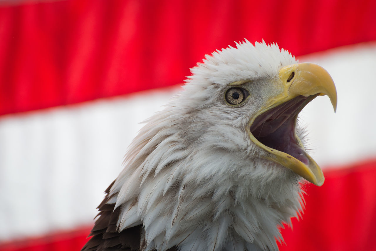 American Flag Angry Animal Animal Head  Animal Themes Bald Eagle Bald Eagle With The American Flag Baldeagle Bird Birds Of Prey Close-up No People One Animal Strong Wildlife
