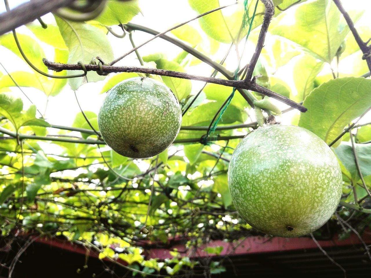 fruit, green color, tree, growth, food, healthy eating, food and drink, no people, citrus fruit, freshness, hanging, branch, leaf, day, close-up, nature, outdoors, low angle view, focus on foreground, beauty in nature