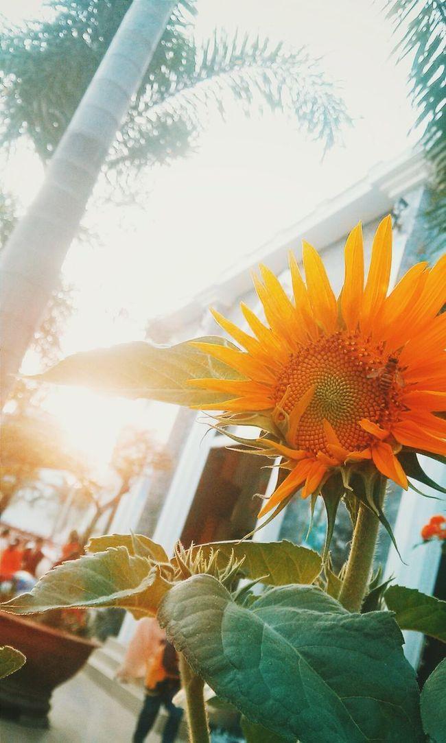 The Week On EyeEm Vietnamnewyear Sunflower Sunshine Firstdayoftheyear 2016 Yearofmonkey