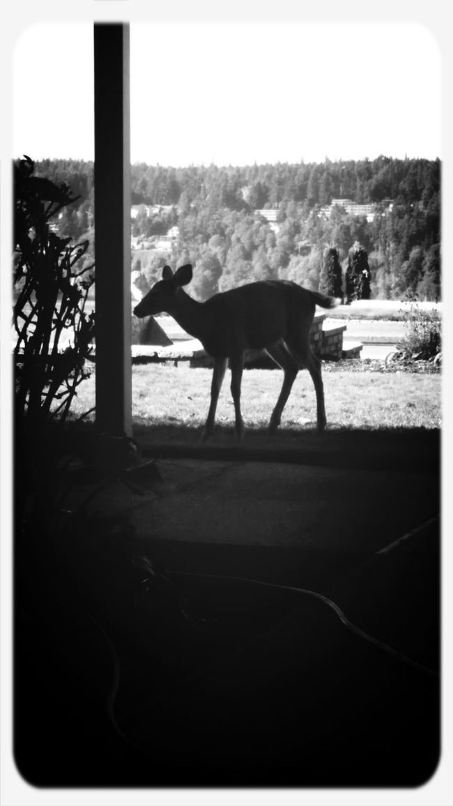 Bambi is just chilling here at my worksite eating apples and pears off trees.