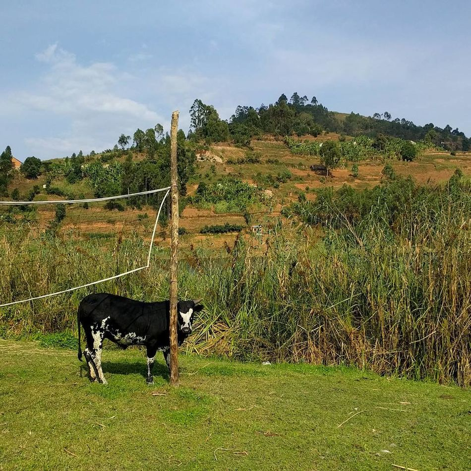 Animal Cow Coat Outdoors Nature