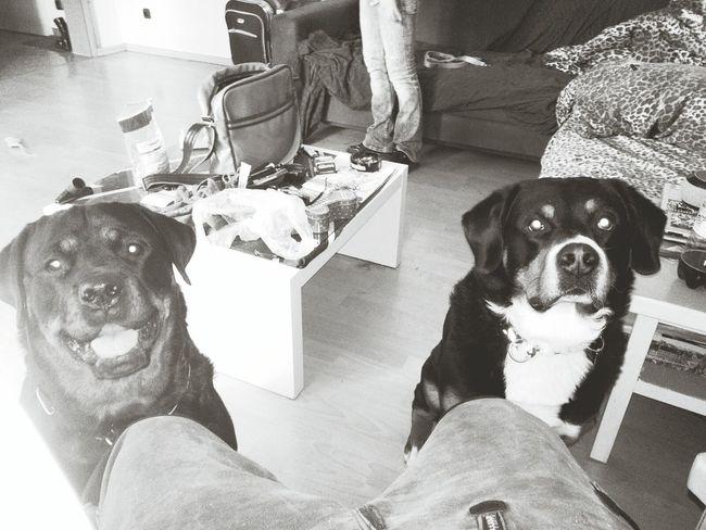 Best Friends ❤ Dogs Of EyeEm Rottweiler Bernersennenhund EyeEm Dog Lover zu Besuch bei Rock yyy Freya Mit Rocky Dogs MonochromePhotography Monochrome Photography Hundefreundschaft Dogs Mydog