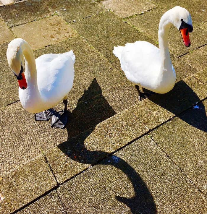 Which swan will move forward first !!! Bird Animals In The Wild Animal Themes Shadow Swan Day Sunlight White Color High Angle View Togetherness Animal Wildlife No People Outdoors Nature Beak Water Swans ❤