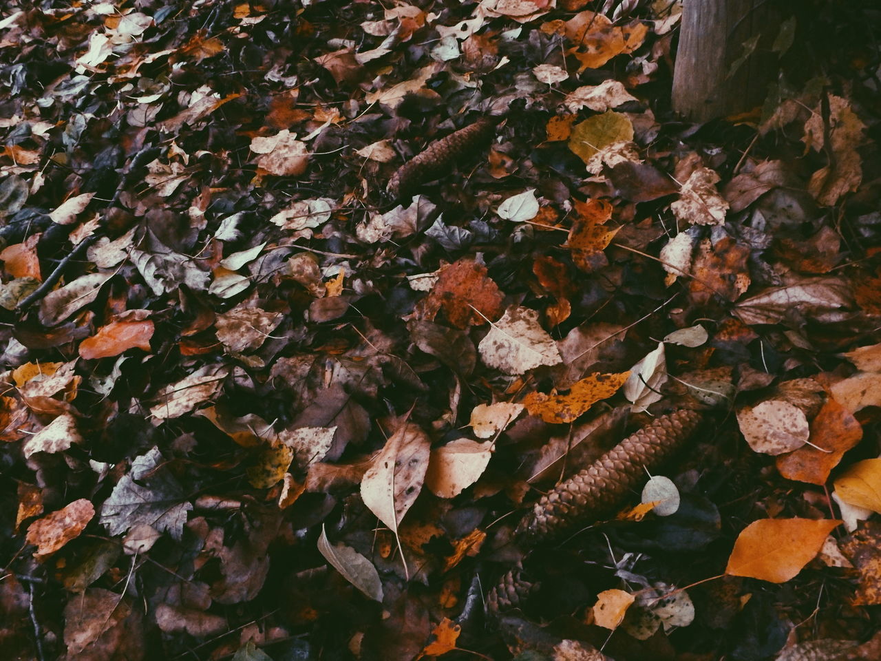 autumn, leaf, change, leaves, dry, nature, fallen, abundance, maple leaf, outdoors, beauty in nature, maple, no people, day, fragility, close-up