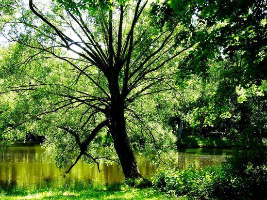 Monster Tree Elagin Island Old Park Magic Place ☀️ Lake Green World Relaxing Sankt-Petersburg Russia