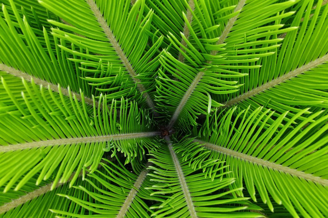 Cycads Young Leaves Soft Beauty Green Color Leaf Growth Fragility Freshness Nature Beauty In Nature Plant Close-up Outdoors Day