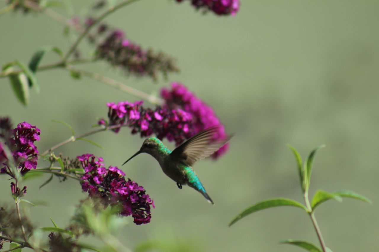 Flower Flying Nature One Animal Beauty In Nature Fragility Animal Themes Animals In The Wild Growth Freshness Mid-air Close-up Hummingbird No People Insect Hovering Animal Wildlife Bird Day Outdoors
