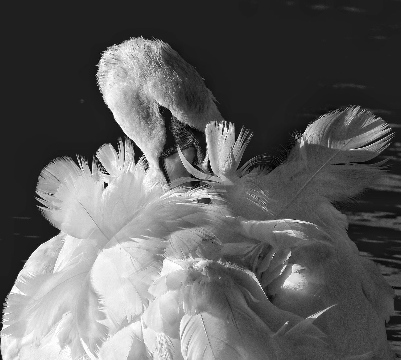 """Exquisite"" Beauty In Nature Black Background Cleaning Close-up Nature No People Outdoors Swan, Classic Feathers, Simplicity,white,ruffled"
