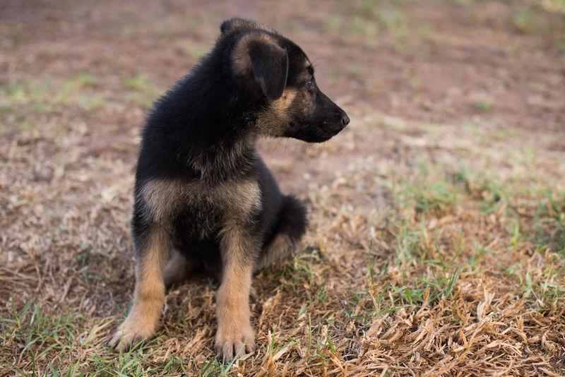 On Guard Alsatian Animal Animal Themes Canine Dog Domestic Animals German Shepherd Grass Mammal One Animal Pets Pup Puppy