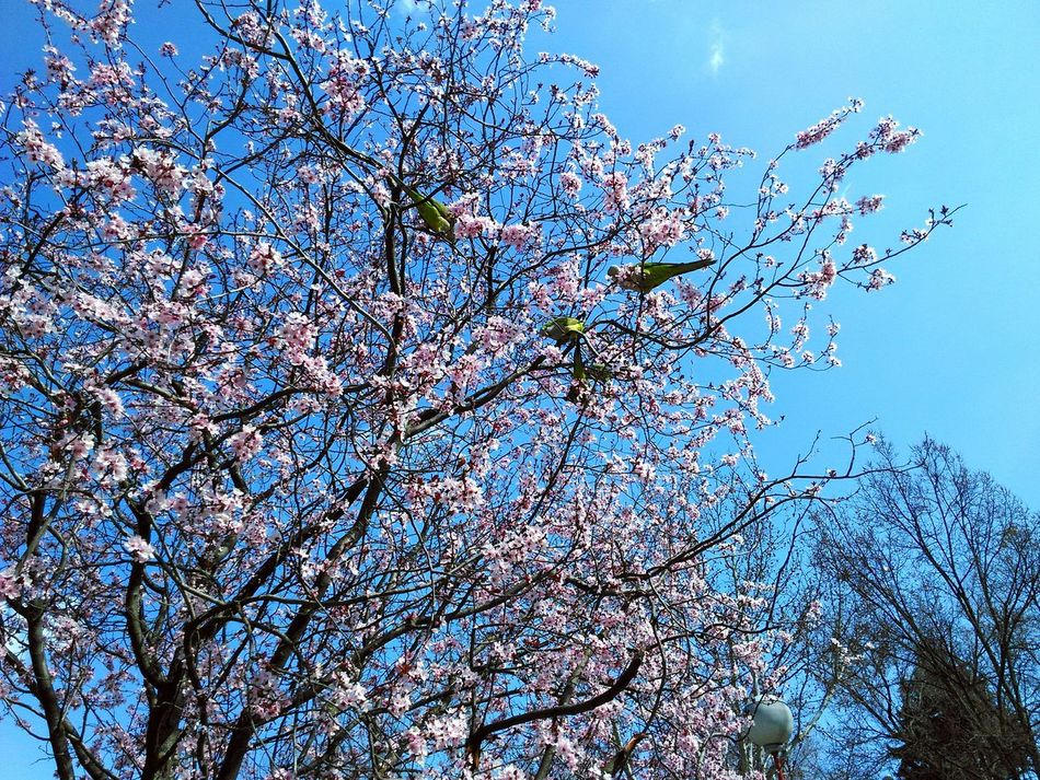 Tree Bird Birds Spring Spring2016 Almond Tree Flowers Almond Blossom Tropical Birds Mediterranean  Madrid Madrid Spain Blooming Blossom Pet Birds Brunches Beautiful Contrast Saturated Saturation Almond Tree In Blossom Pink Flowers Pink Flower Pink Green