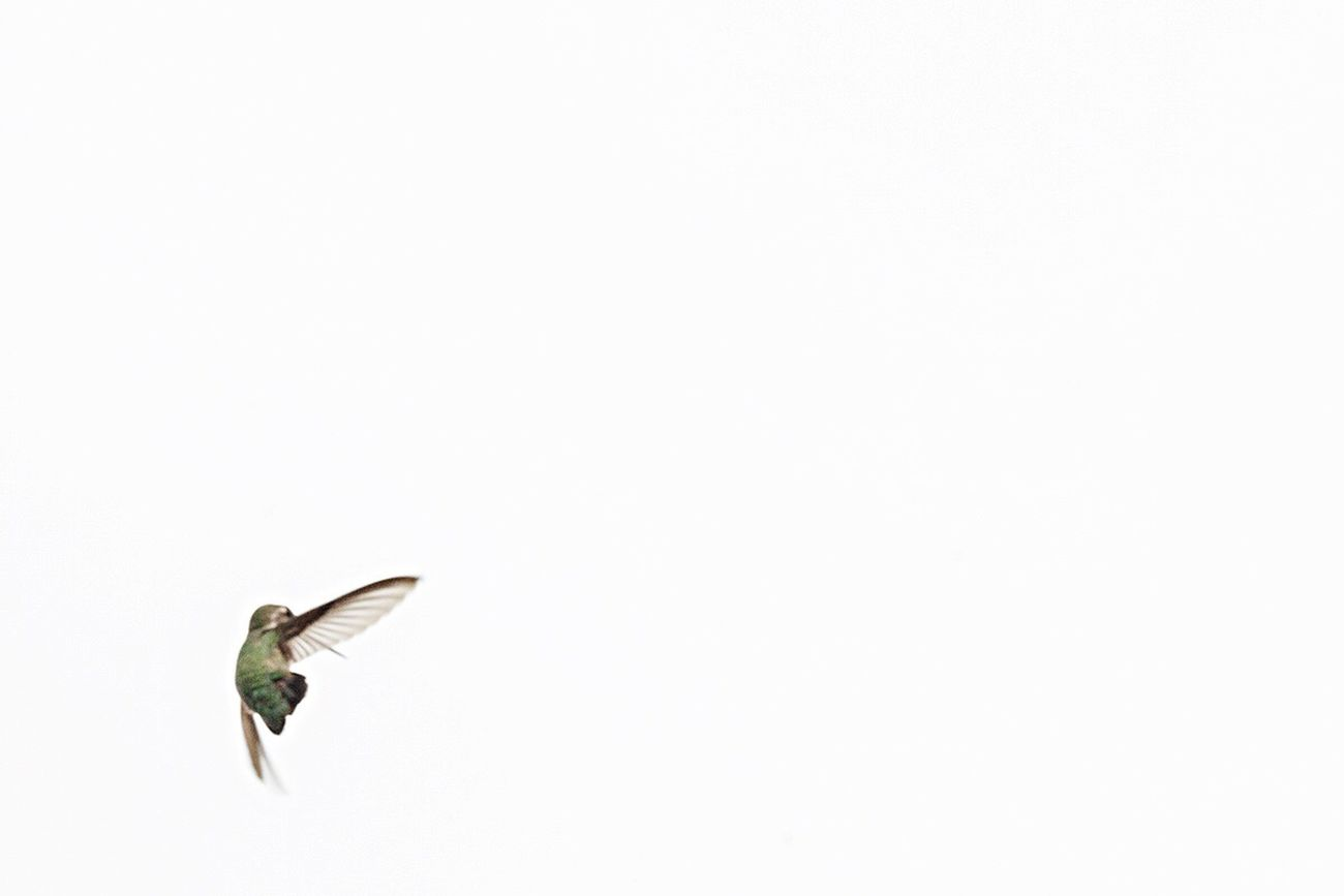Hummingbird Number 2 Minimalism EyeEm Nature Lover Birds Negative Space Small And Swift Deceptively Simple
