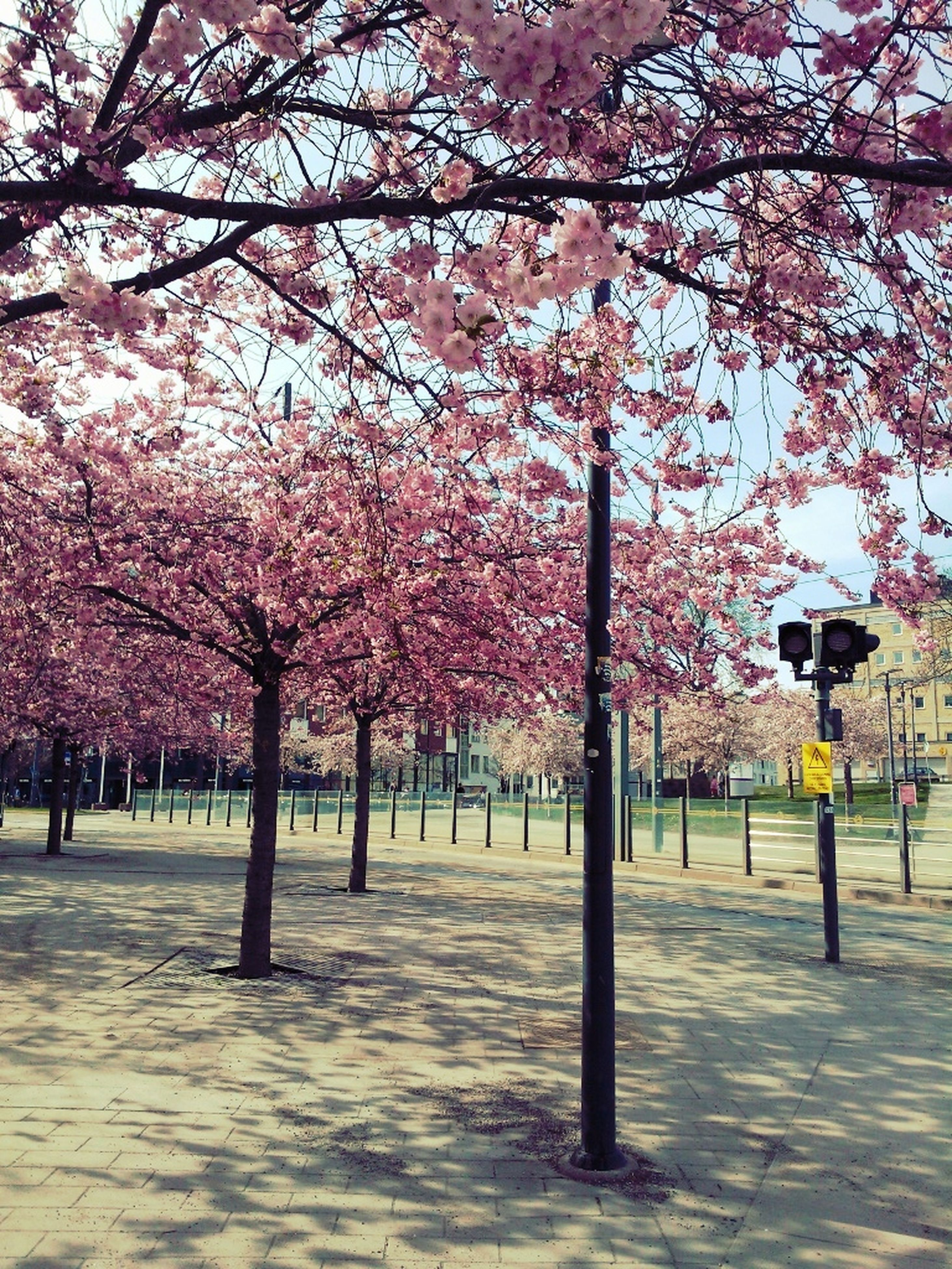 tree, flower, cherry blossom, branch, blossom, cherry tree, freshness, growth, pink color, nature, fragility, beauty in nature, park - man made space, springtime, person, city, built structure, building exterior, large group of people