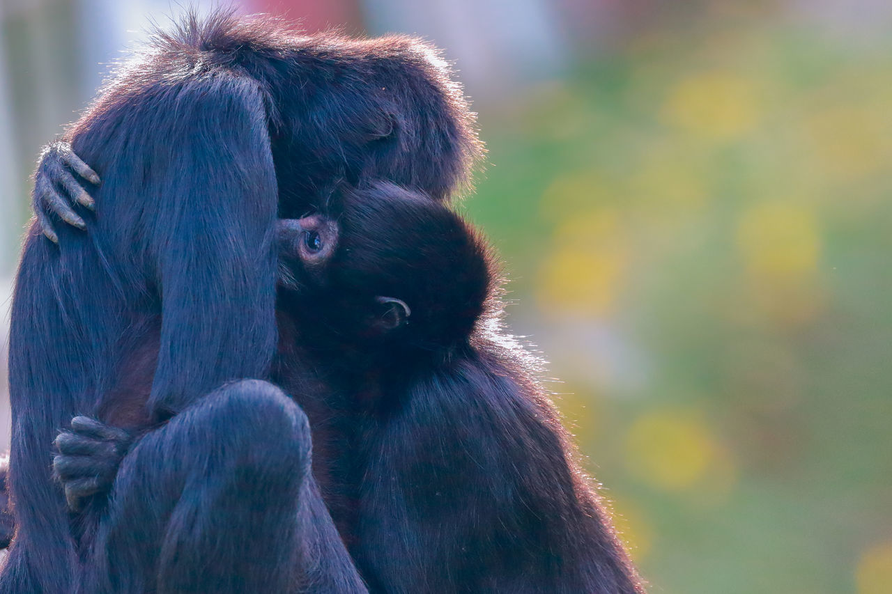 Beautiful stock photos of monkey, Animal Family, Animal Hair, Animal Themes, Animal Wildlife