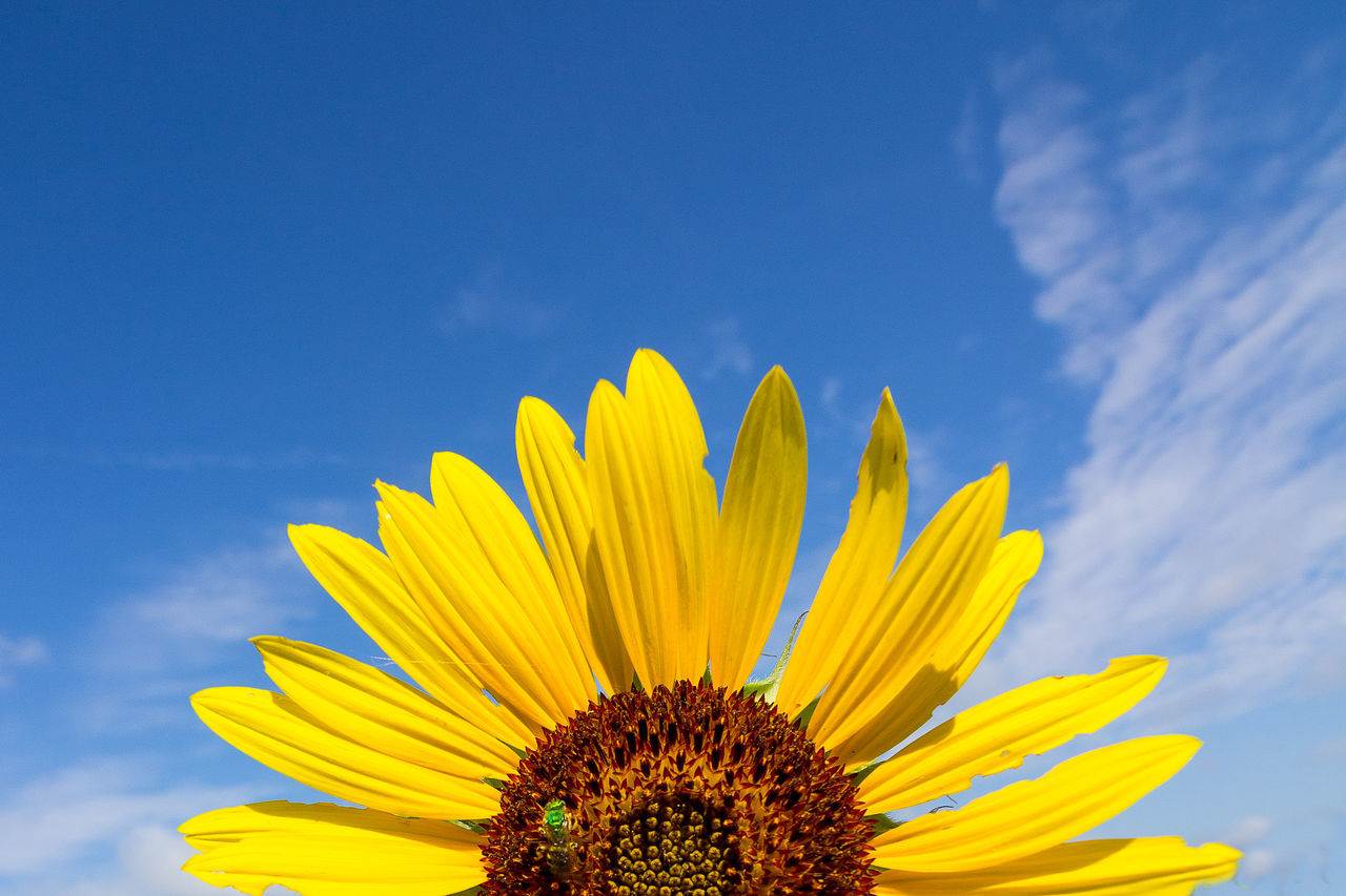 Beautiful stock photos of sunflower, Beauty In Nature, Cropped, Day, Flower